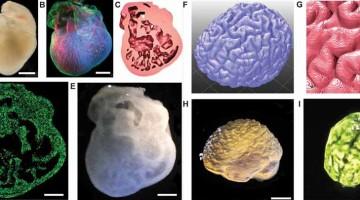 La Stampa 3D di organi per riparare il corpo umano sarà una realtà