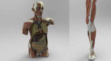 La  collezione di modelli anatomici 3D in alta definizione disponibile su Threeding.com