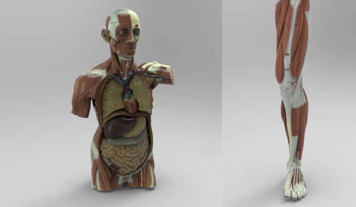 modelli-anatomici-3d-uomo1